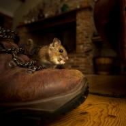 house-mouse-eating-on-a-shoe